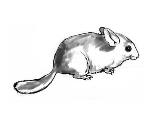 how to draw a chinchilla step by step how to draw a cartoon chinchilla step by step drawing chinchilla a how draw step step by to