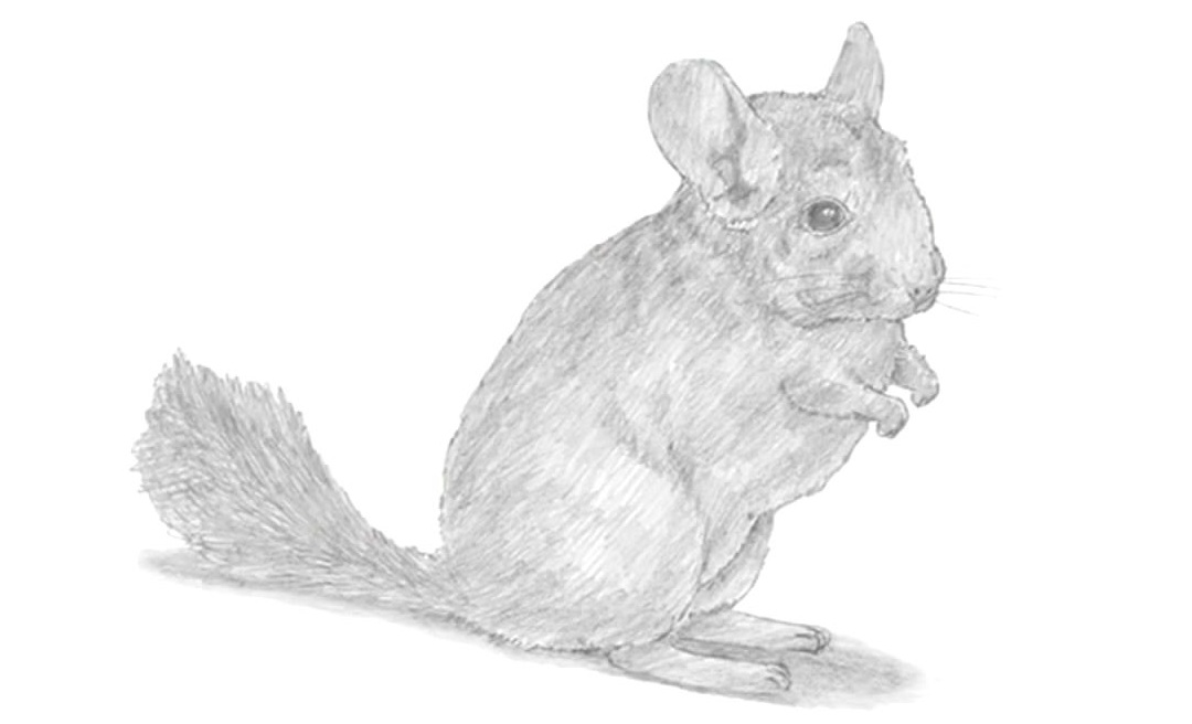 how to draw a chinchilla step by step how to draw a chinchilla by step draw step a chinchilla to how