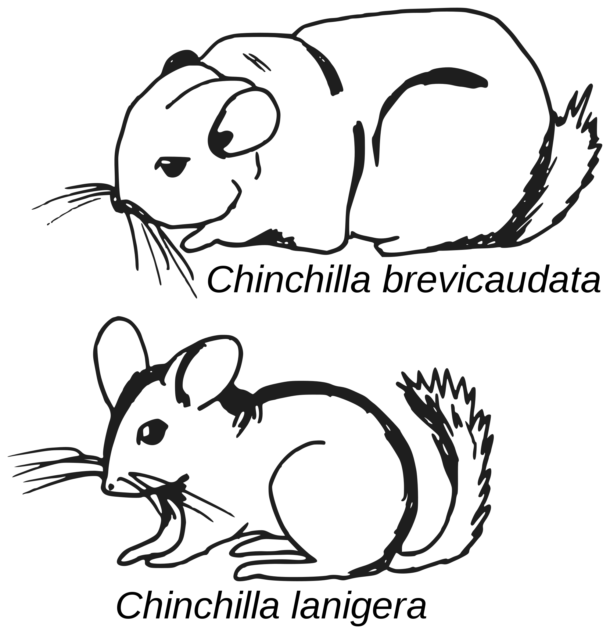 how to draw a chinchilla step by step how to draw a chinchilla by step draw step a to chinchilla how