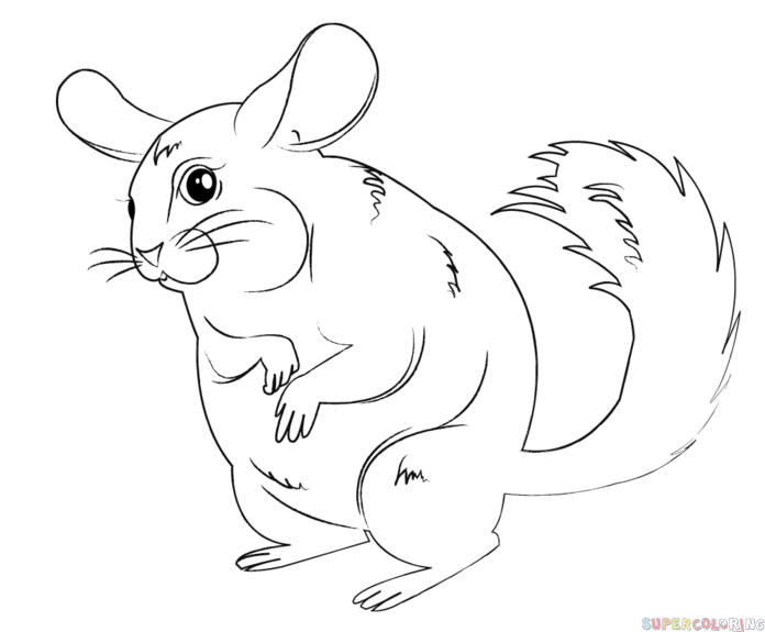 how to draw a chinchilla step by step how to draw a chinchilla drawingnow to by step how draw a chinchilla step