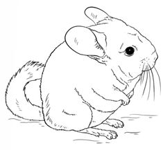 how to draw a chinchilla step by step how to draw a chinchilla to chinchilla step by step how a draw
