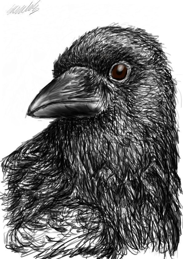 how to draw a crow 480 best images about owls blackbirds crows ravens on to a how crow draw