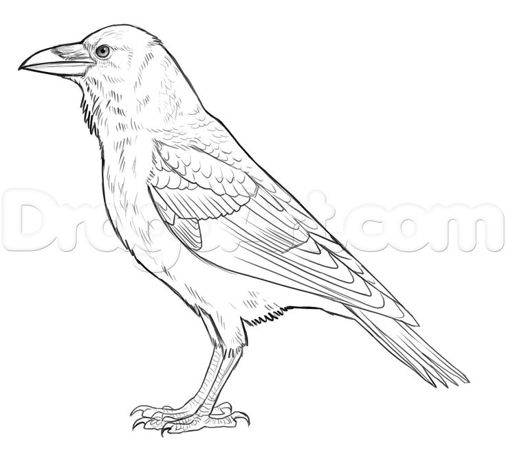 how to draw a crow cartoon crow step by step drawing lesson a draw how to crow
