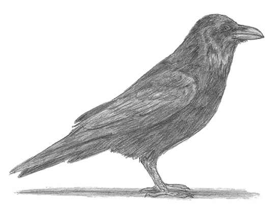 how to draw a crow how to draw a flying crow easy step by step for beginners how crow a draw to
