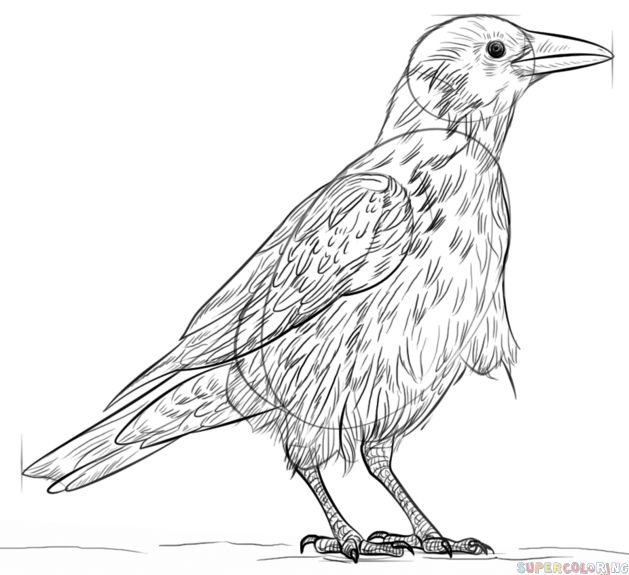 how to draw a crow learn how to draw a carrion crow birds step by step a crow draw how to