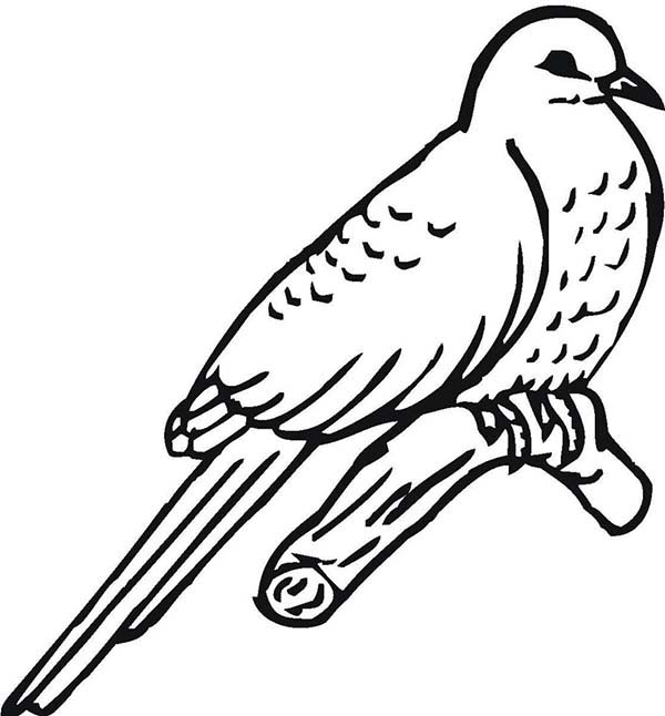 how to draw a cuckoo bird common cuckoo coloring sheet bird draw to cuckoo how a