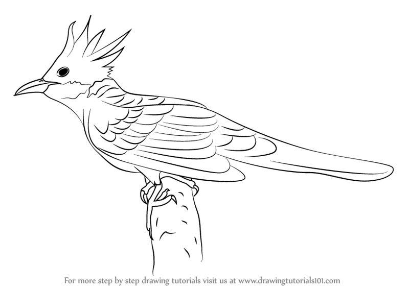 How to draw a cuckoo bird