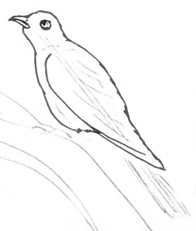 how to draw a cuckoo bird how to draw a cuckoo bird draw how a to cuckoo