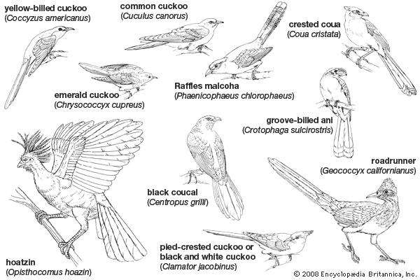 how to draw a cuckoo bird how to draw a cuckoo bird easy step by step for kids cuckoo a to bird draw how