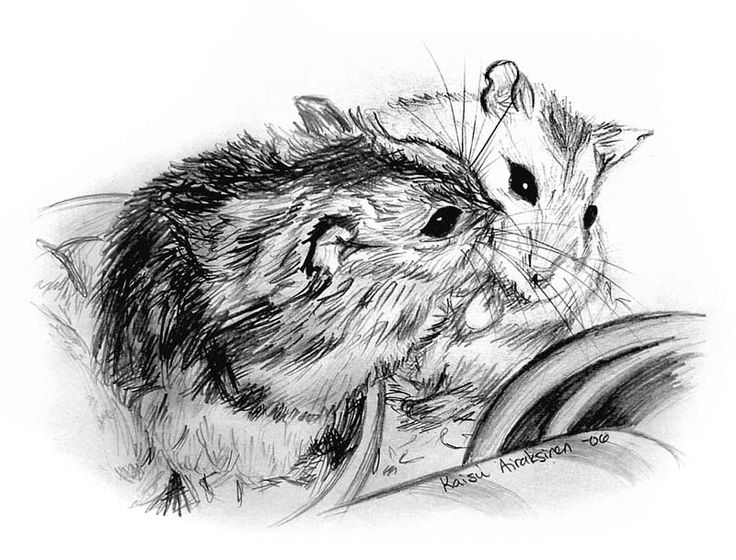 how to draw a dwarf hamster 24 best hamster art gallery images on pinterest hamsters to dwarf draw how a hamster