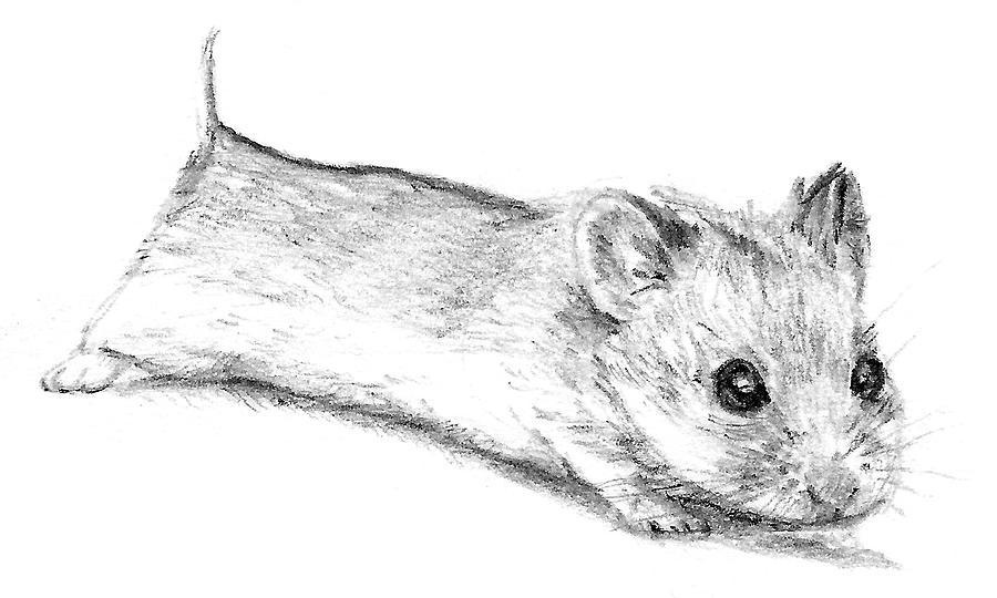 How to draw a dwarf hamster