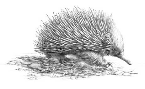 how to draw a echidna echidna png black and white transparent echidna black and to echidna a how draw