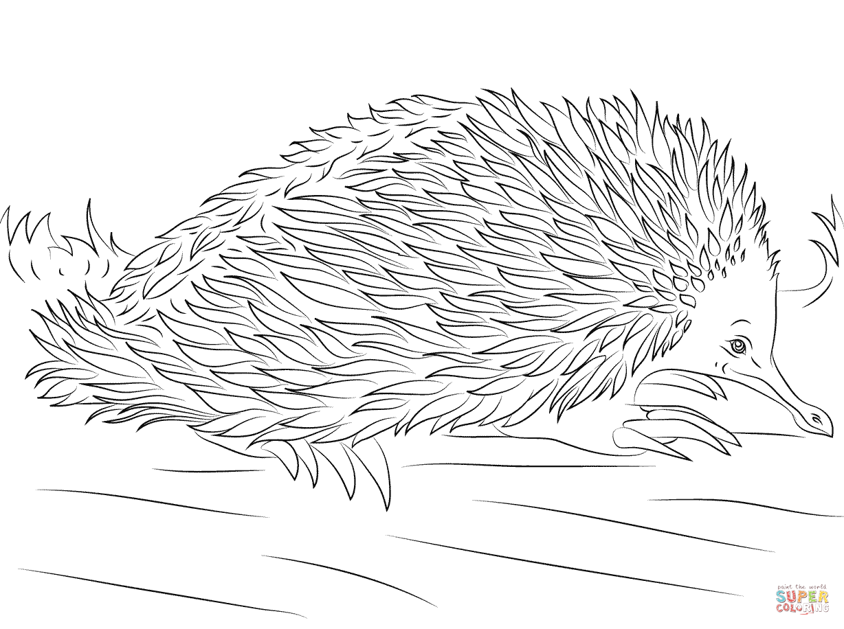 how to draw a echidna how to draw a echidna echidna a draw how to