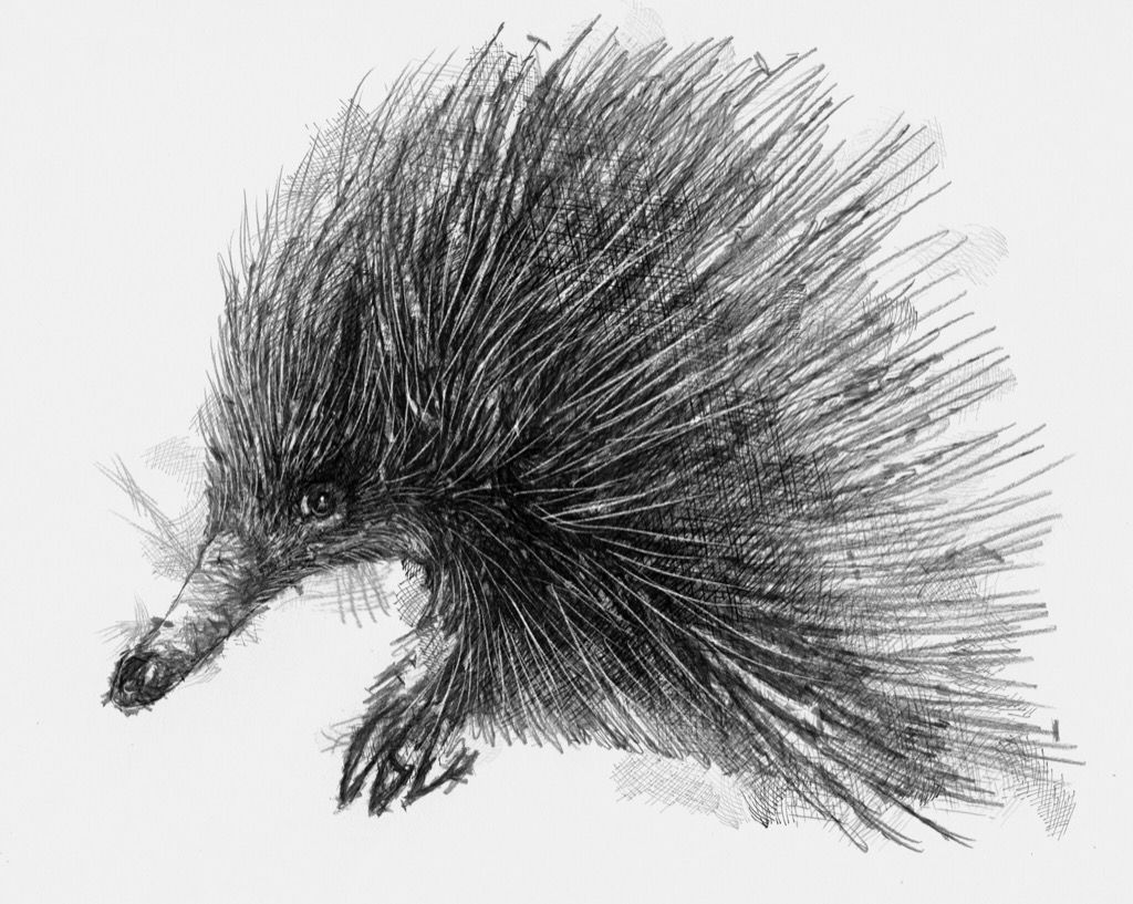 how to draw a echidna learn how to draw a spiny anteater other animals step by draw echidna how to a