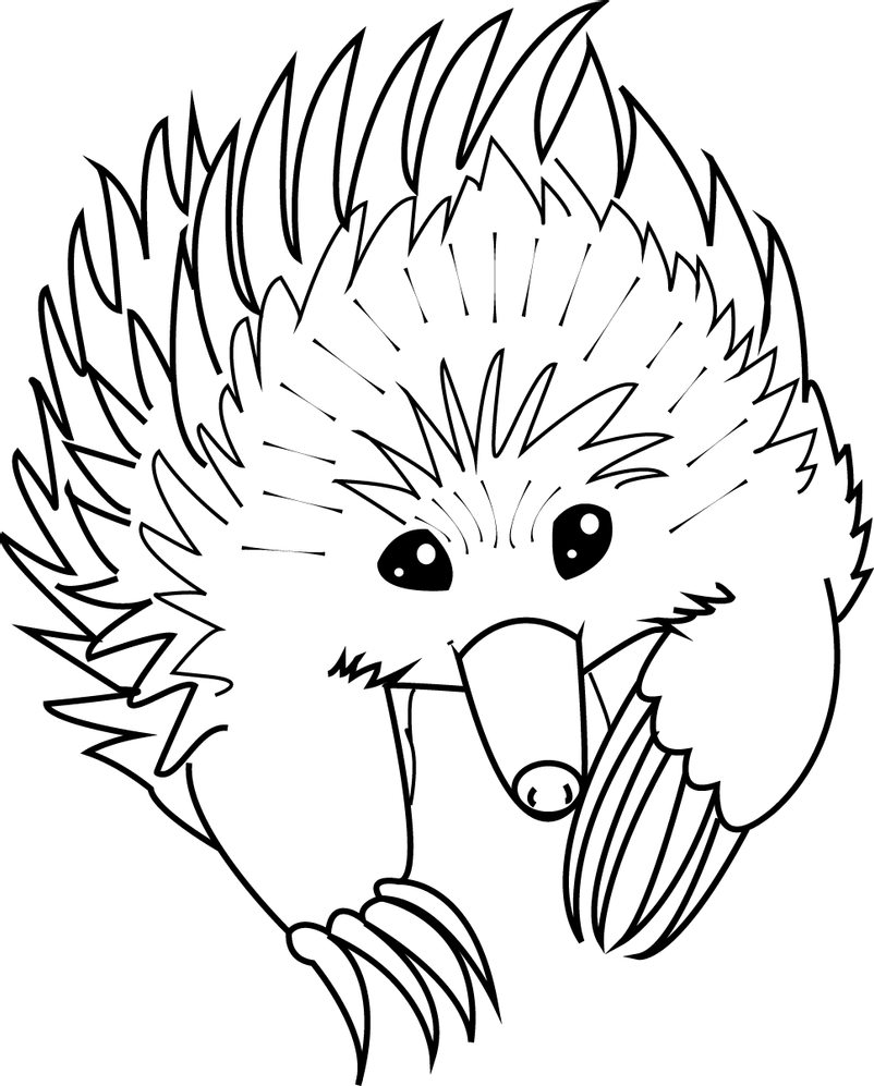 how to draw a echidna quotechidna and orchidquot by laura grogan redbubble draw how a to echidna