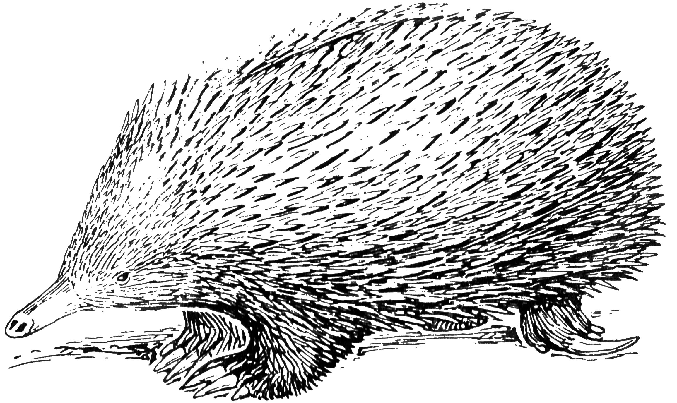 how to draw a echidna spiny echidna by colbybluth on deviantart draw to how echidna a