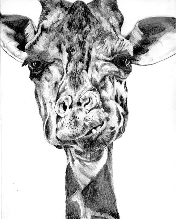 how to draw a giraffe face giraffe drawing clipart best how to giraffe draw face a