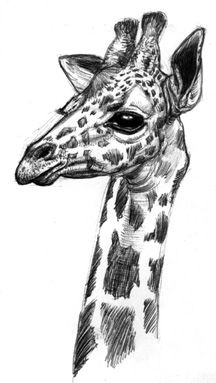 how to draw a giraffe face giraffe outline clipart clipartfest outline drawings how a giraffe draw to face