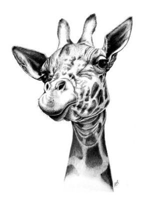 how to draw a giraffe face new giraffe signed art print wildlife wall art animal picture draw giraffe how face a to