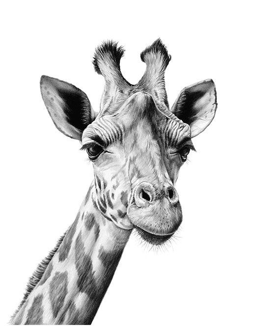 how to draw a giraffe face sketch 55 giraffe meli hitchcock illustration draw face to a how giraffe