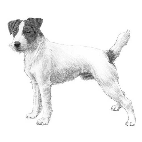 how to draw a jack russell terrier beth39s artworx fat tuesday artist spotlight 20 russell how to terrier jack draw a