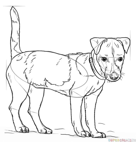 how to draw a jack russell terrier dog drawing images free download on clipartmag russell how draw a terrier to jack