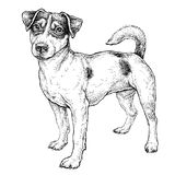 how to draw a jack russell terrier first step in new commissioned pencil drawing of jack terrier draw how jack russell a to