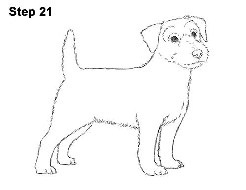 how to draw a jack russell terrier how to draw a dog jack russell terrier to russell terrier a how jack draw