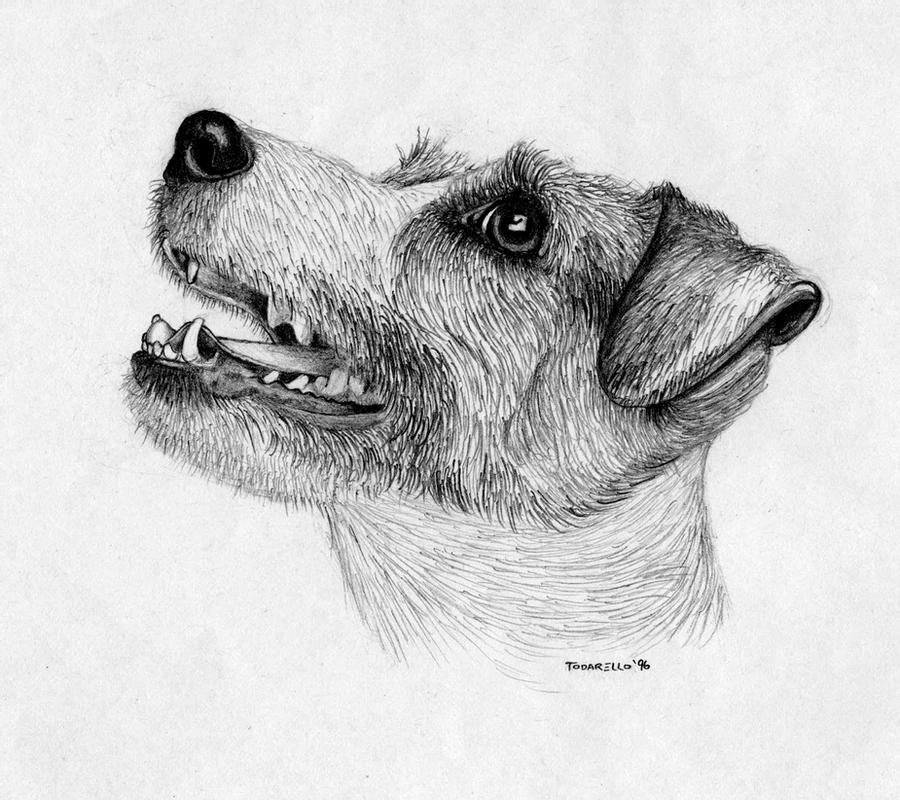 how to draw a jack russell terrier jack russell terrier drawing at paintingvalleycom a terrier how jack russell to draw