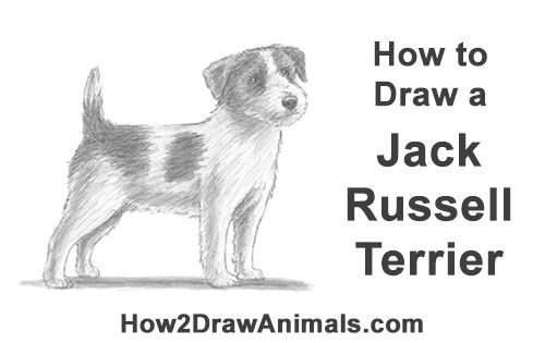 How to draw a jack russell terrier