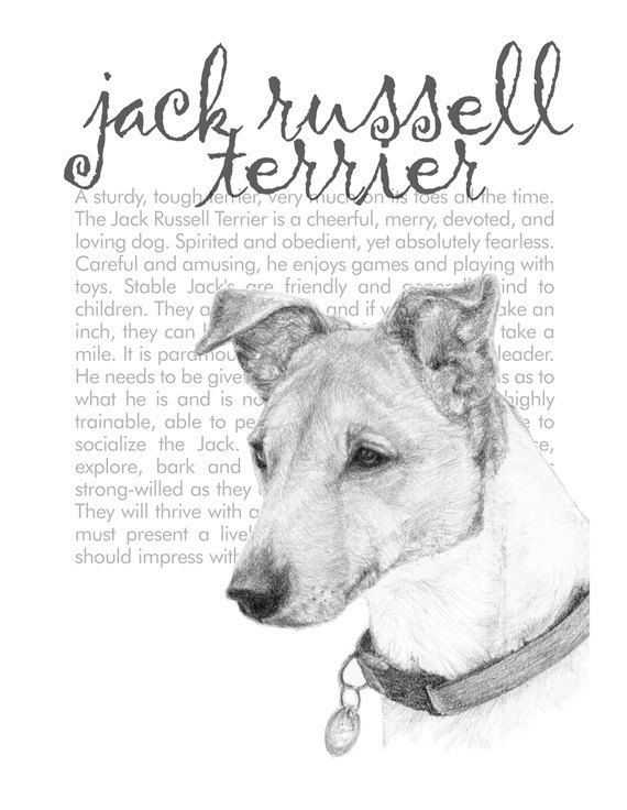 how to draw a jack russell terrier the best how to draw a jack russell terrier step by step to draw russell a terrier jack how