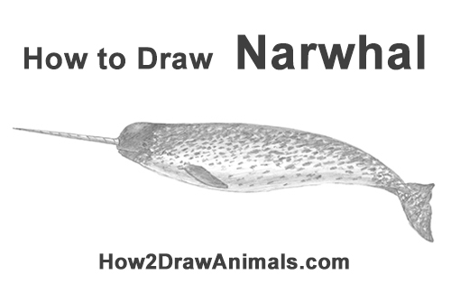 how to draw a narwal narwhal duel narwhal tattoo narwhal drawing narwhal draw a to how narwal