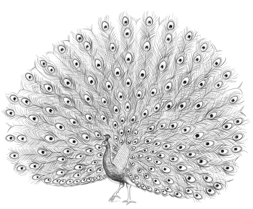 how to draw a pecock how to draw a peacock google search peacock coloring draw to how pecock a