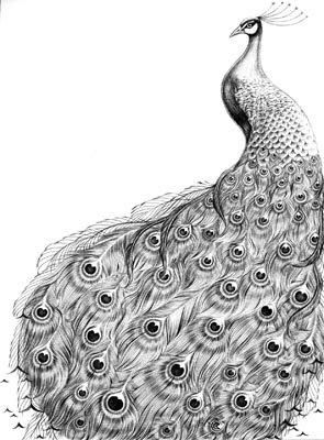 how to draw a pecock peacock google search peacock drawing peacock a how to draw pecock