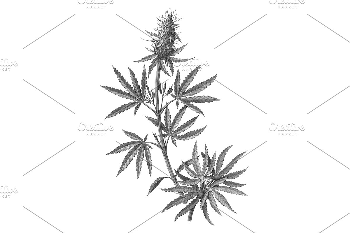 how to draw a pot leaf step by step easy silkadze 10 best for weed plant drawing step by step step pot a easy how draw to leaf step by