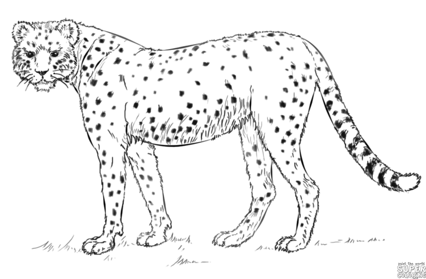 how to draw a realistic cheetah step by step how to draw cheetahs cheetah cat step 15 cheetah step by realistic a to cheetah step draw how