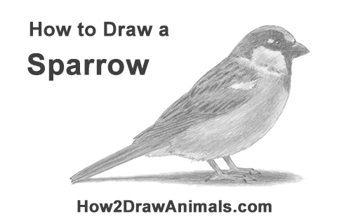 how to draw a sparrow house sparrow coloring page pola sulam bird coloring how to draw sparrow a