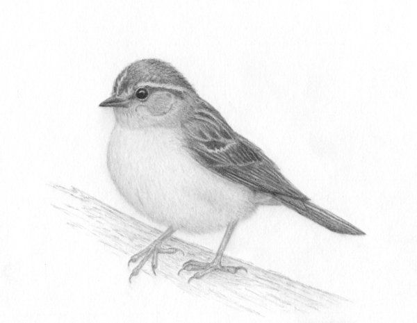how to draw a sparrow how to draw a house sparrow step by step easy animals 2 draw to how sparrow draw a