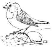 how to draw a sparrow how to draw a sparrow youtube sparrow to draw a how