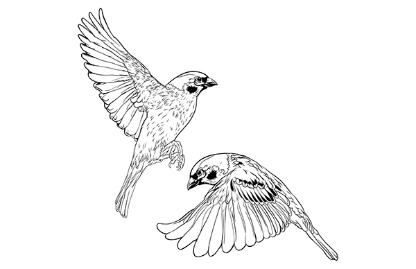 how to draw a sparrow song sparrow by fernando oliveira in 2020 song sparrow draw how a to sparrow