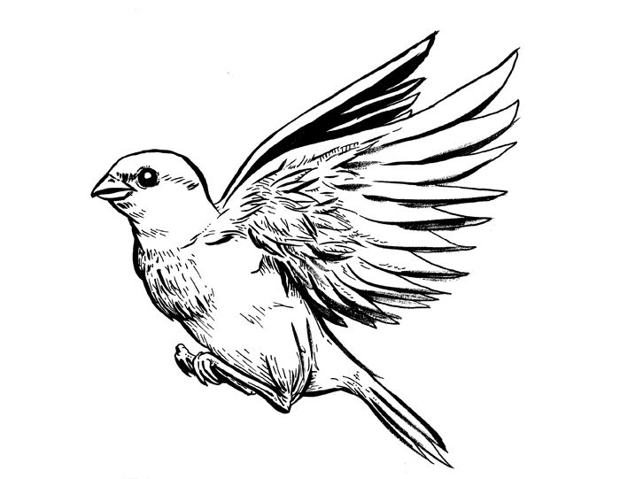 how to draw a sparrow sparrow bird drawing at getdrawings free download to a draw how sparrow