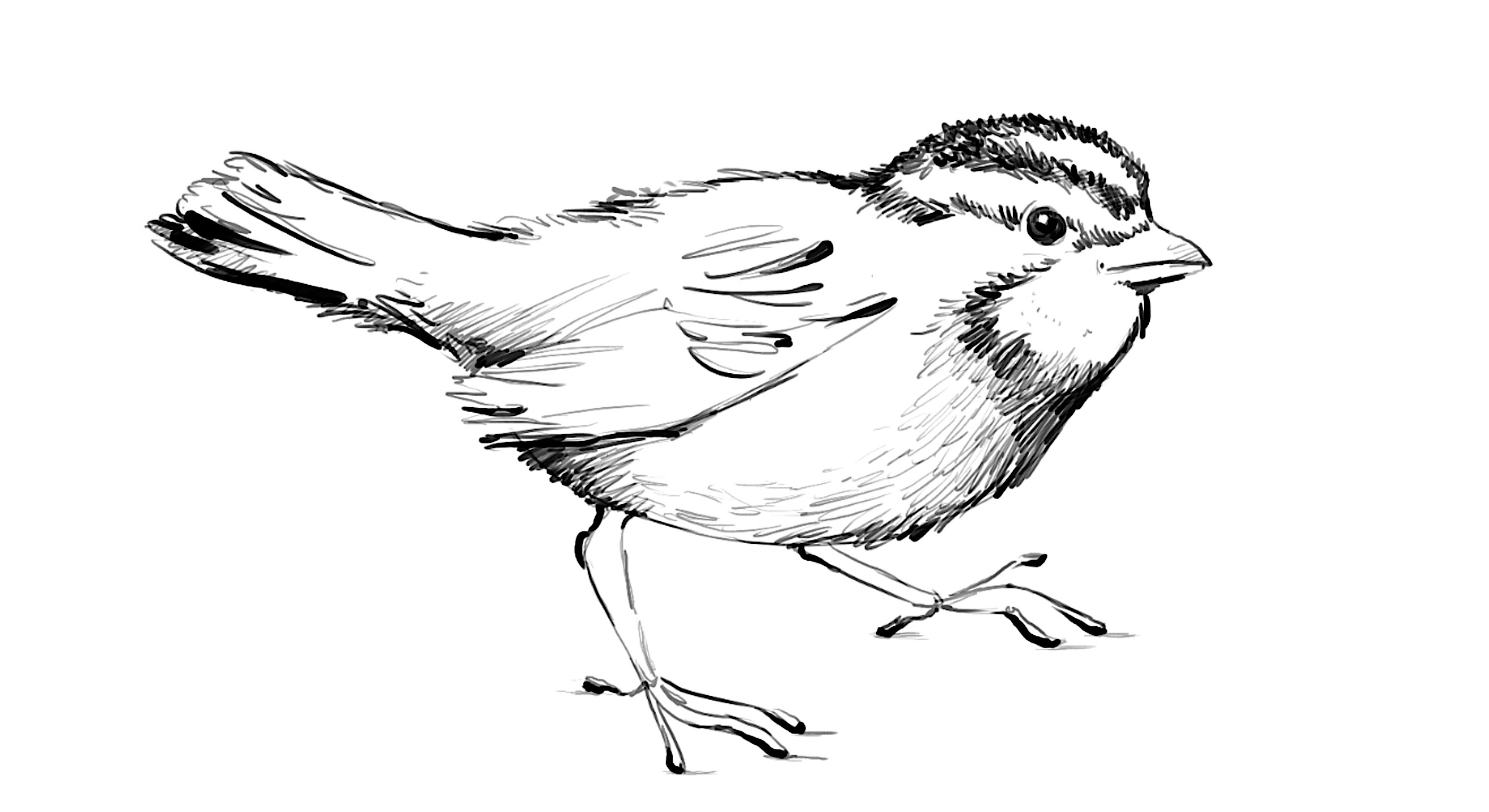 how to draw a sparrow zebra drawing easy at getdrawings free download to a sparrow draw how