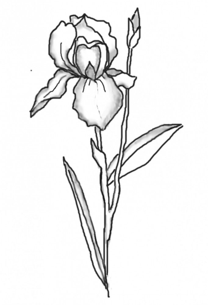 how to draw an iris how to draw an iris in 5 steps iris drawing iris iris how draw an to