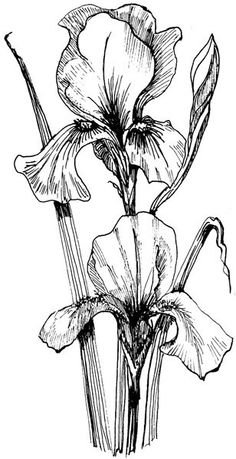 how to draw an iris how to draw monet39s blue iris flower google search in how an iris draw to
