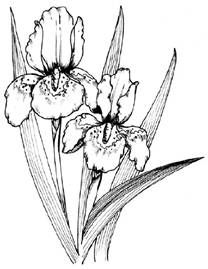 how to draw an iris image result for quotbearded irisquot illustration flower iris to draw an how