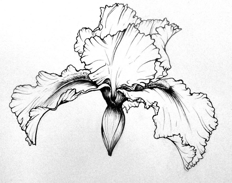 how to draw an iris pin by debbie johnson on drawings with images flower an iris how draw to