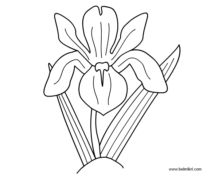 how to draw an iris the best free iris drawing images download from 389 free how draw iris to an