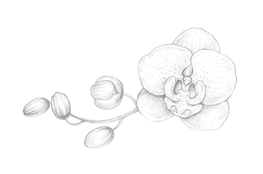 how to draw an orchid flower orchid drawing free download on clipartmag orchid an flower how draw to