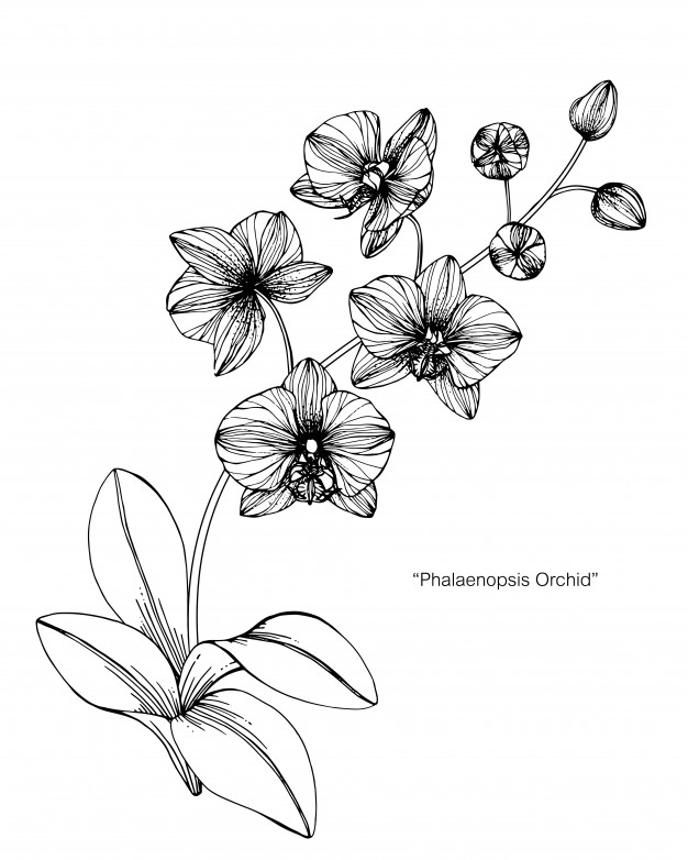 how to draw an orchid flower orchid flower drawing at getdrawings free download to flower how an orchid draw