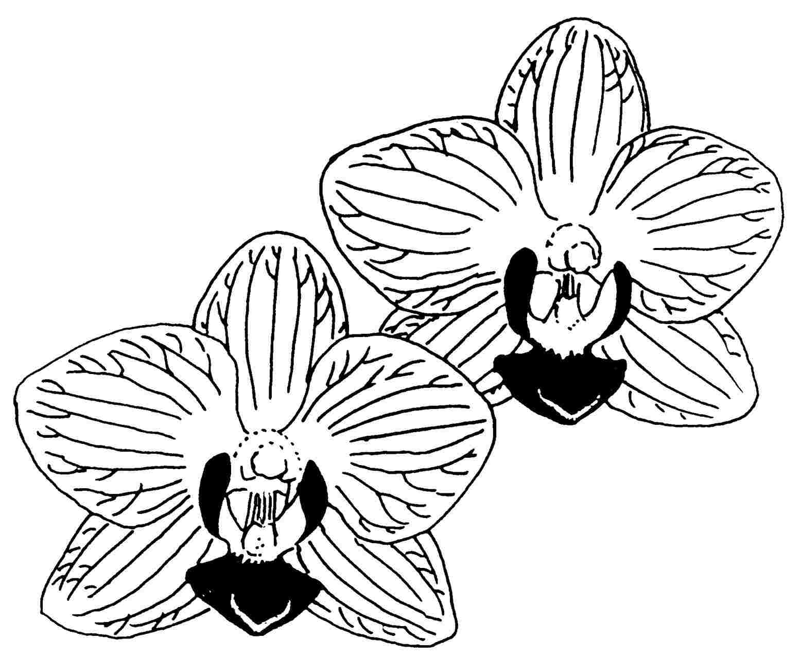 how to draw an orchid flower orchid flower drawing free download on clipartmag how to an draw orchid flower